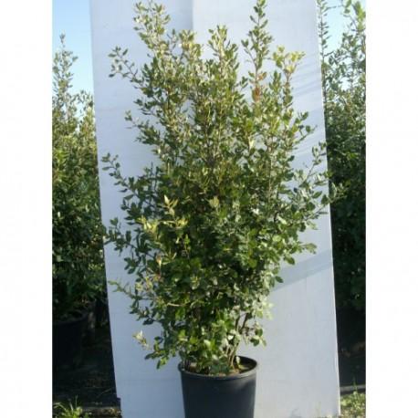 ch ne vert quercus p pini re grasse jardinerie nice pepiniere06. Black Bedroom Furniture Sets. Home Design Ideas