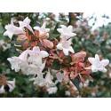 Abelia grandiflora touffe