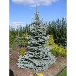 Picea Kosteriana