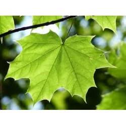 Erabe Vert Platanoides