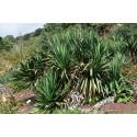 Yucca Glorosia