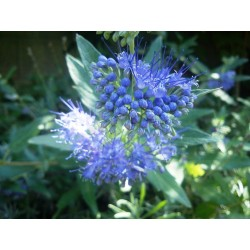 Caryopteris, spirée bleue