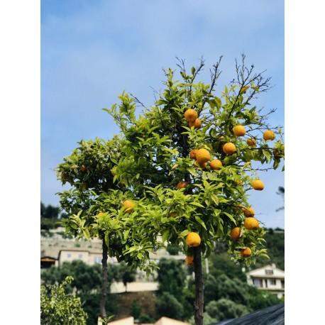 Orange amer