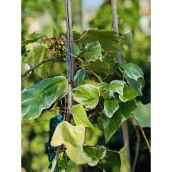 Lierre vert panaché