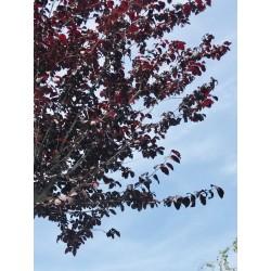 Prunus pissardii circonférence : 20/25 cm hauteur : 300/350 cm