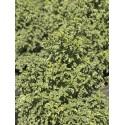 pittosporum  Tenuifolium mahi